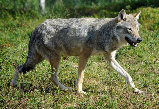 The Tale of the Non-Endangered Gray Wolf