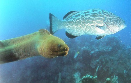 moray-grouper