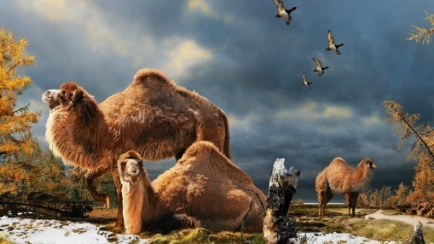 Camels in The Highest Arctic, Again, Soon.