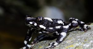 Thought extinct for 30 years, the starry night toad is rediscovered