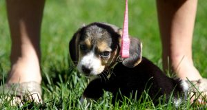 Pet store puppies tied to drug-resistant bacteria, CDC warns