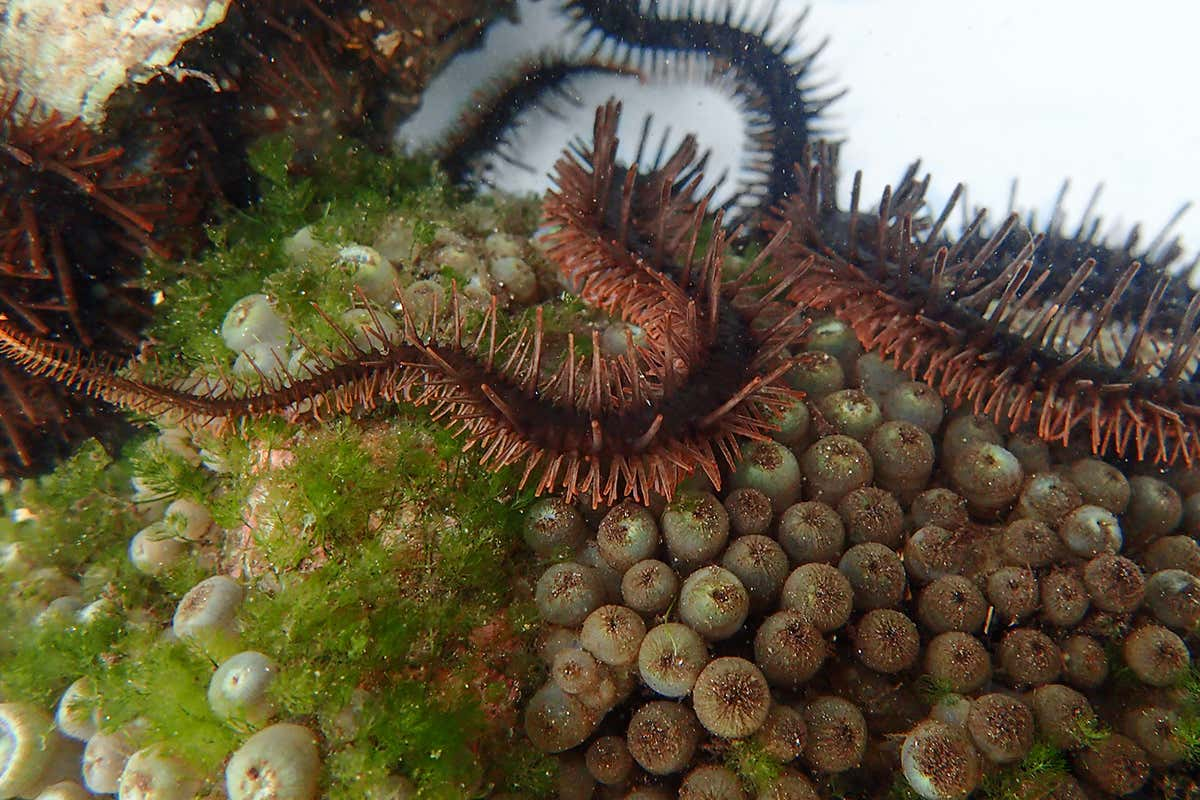 Some starfish-like animals see without eyes by changing body colour