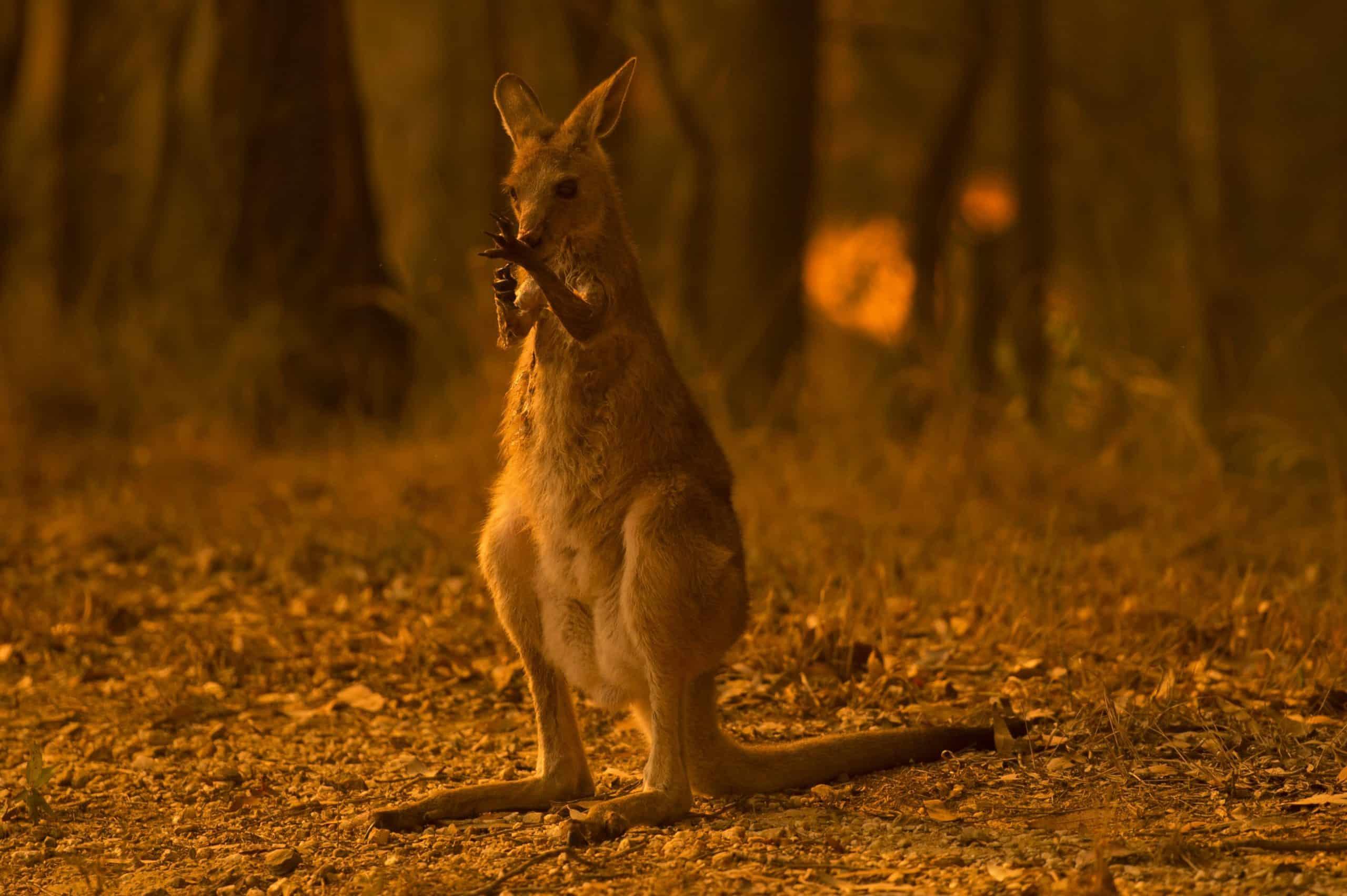 Australia fires kill half a billion animals as crisis mounts