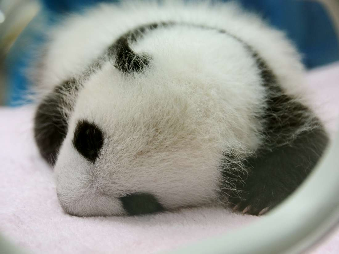 Why are baby pandas so small? Study explores