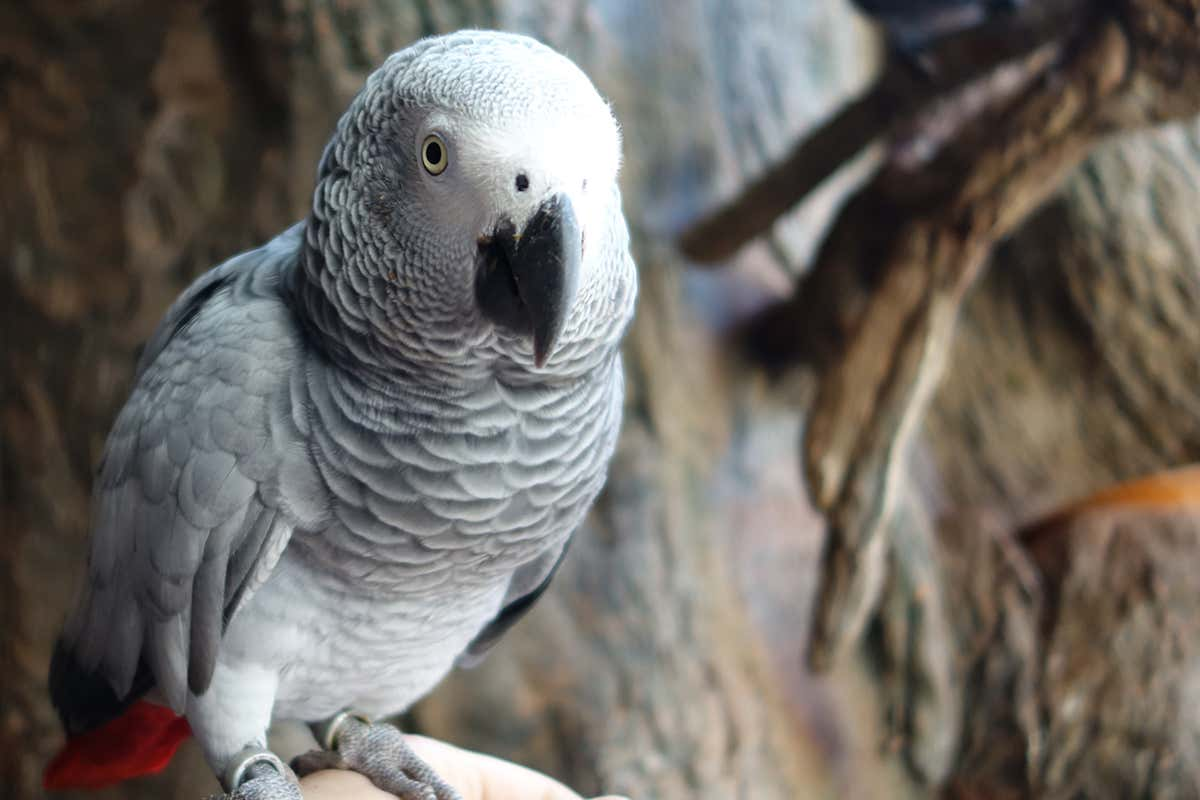 African grey parrots are smart enough to help a bird in need