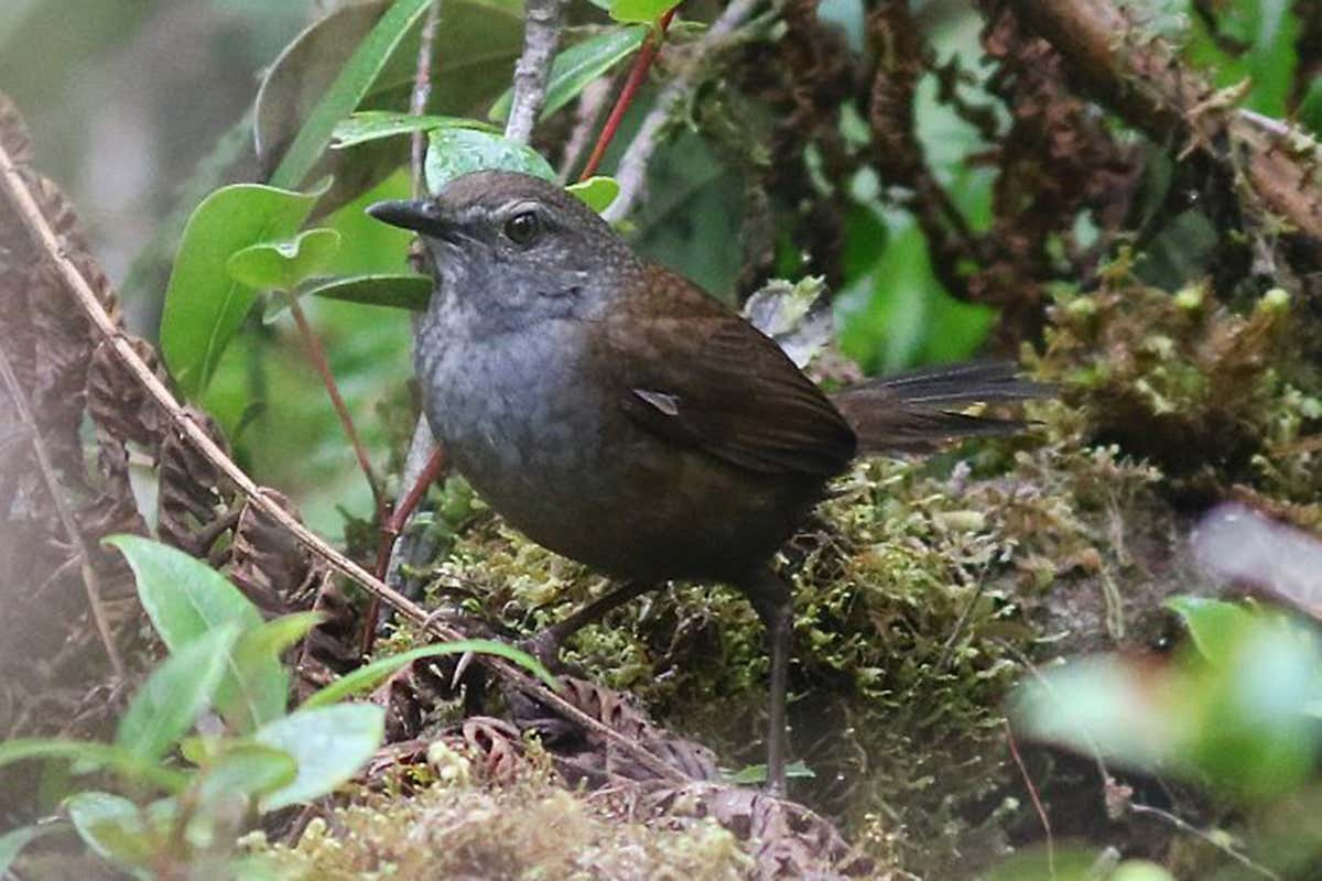Scientists have discovered five new species of songbird in Indonesia