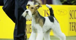 The Latest: Wire fox terrier advances to Westminster final