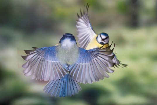 Blue tits learn to avoid gross food by watching videos of other birds