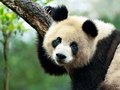 Keep raising money to save the pandas