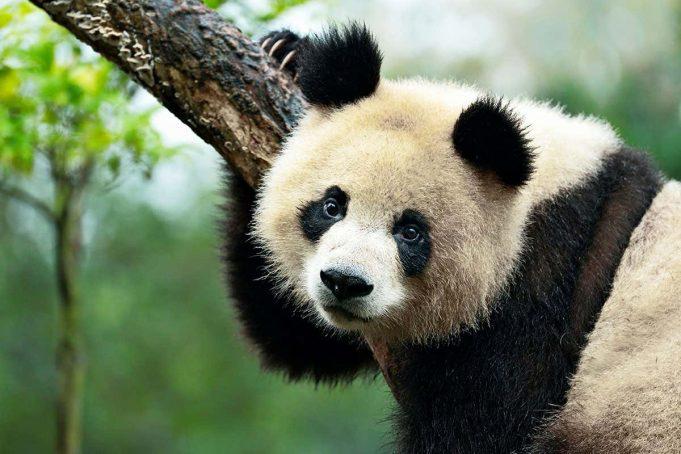 Keep raising money to save the pandas